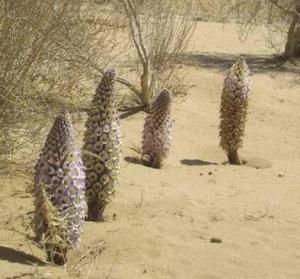 沙漠壮阳植物:肉苁蓉的功效有哪些?