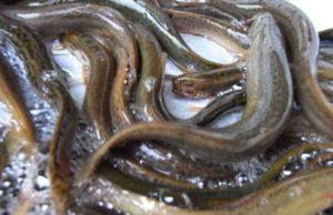 泥鳅壮阳吗,补肾壮阳,泥鳅怎么吃壮阳