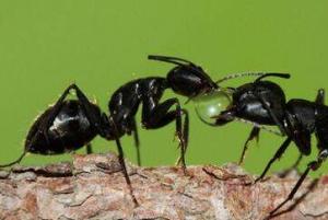 黑蚂蚁能治疗阳痿吗?黑蚂蚁怎么吃好?