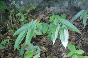 壮阳植物有哪些?世界八大壮阳植物了解一下